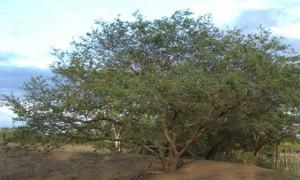 Tepezcohuite Tree